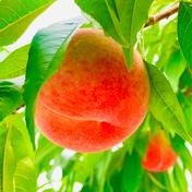 桃 あかつき 良品 約2kg(7個〜8個) 約2kg(7個〜8個) 果物や野菜などのお取り寄せ宅配食材通販産地直送アウル