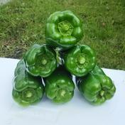 味の濃いピーマン1.5㎏ 1.5㎏ 果物や野菜などのお取り寄せ宅配食材通販産地直送アウル