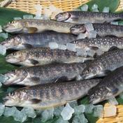 魚沼 高野養魚場 [岩魚]イワナ12尾入(19cmサイズ)冷凍 12尾