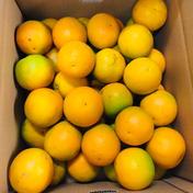 和歌山県有田産 バレンシアオレンジ ご家庭用 10kg 10kg 果物(柑橘類) 通販
