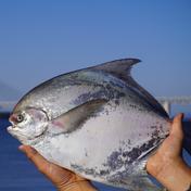 【最高級魚マナガツオ】丸ごと1匹食べちゃってbox😋 1.5キロ 果物や野菜などのお取り寄せ宅配食材通販産地直送アウル