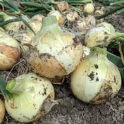 新玉ねぎ 玉ねぎ 10kg 野菜(玉ねぎ) 通販