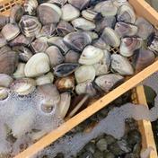 不揃いはまぐり3キロ 3キロ 魚介類 通販