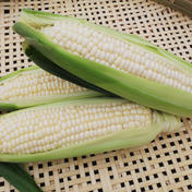 生食OK🎵白いトウモロコシ🌽 8本 #4 2kg~3kg 野菜(とうもろこし) 通販