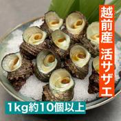 大将が素潜りで採った越前産活サザエ 1kg入(10個以上) 1.0kg 10個以上 魚介類 通販