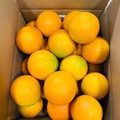 和歌山県有田産 バレンシアオレンジ 秀品 10kg 10kg 果物(柑橘類) 通販