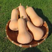 栽培期間中、肥料・農薬不使用 バターナッツかぼちゃ 約4kg 群馬県 通販