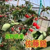 ハウスさくらんぼ【佐藤錦】 330g 果物(さくらんぼ) 通販