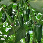北海道産 ハウス栽培 ハラペーニョ 1kg 1kg 果物や野菜などのお取り寄せ宅配食材通販産地直送アウル