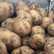 【宮崎県綾町産】ホクホクじゃがいも!【農薬・化学肥料不使用】 5kg 野菜(じゃがいも) 通販