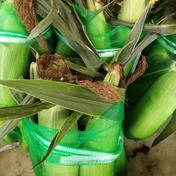 朝採りトウモロコシ2L 山梨県 通販