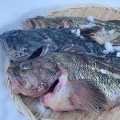 漁師の店 シマゾイとクロソイの熟成セット 2.㎏