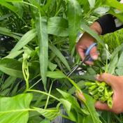 【訳あり】『心笙からのおすそわけ』空心菜(空芯菜)1.5kg 1.5kg 果物や野菜などのお取り寄せ宅配食材通販産地直送アウル