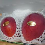 ますみ農園の完熟アップルマンゴー1kg(2〜3玉) アップルマンゴー約1kg 果物(マンゴー) 通販