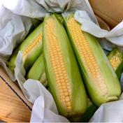プチっとみずみずしい!(๑˃̵ᴗ˂̵)朝採りゴールドラッシュ 中11本前後80サイズ箱 高島農産(ないとうさん家の野菜)