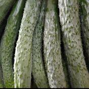 無農薬で育てたイボイボが自慢のすうようきゅうり20本 きゅうり20本 野菜(きゅうり) 通販