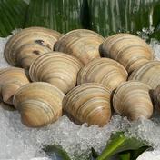 ホンビノス貝10kg【Sサイズ 50g〜95g】 10kg 魚介類(その他魚介) 通販