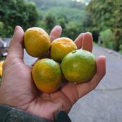 小さい!(味が濃い)3kg みかん(極早生)ゆら早生 3kg 数量限定です。 3kg 和歌山県 通販