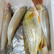 八代海北部の魚達!お試し鮮魚BOX 1.5キロ以上 魚介類 通販