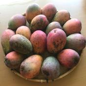 喜くばり本舗 完熟マンゴー(加工用)(期間限定) 4kg(約10玉〜13玉)