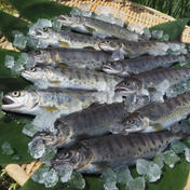 魚沼 高野養魚場 [山女 12尾入]×5箱 [岩魚 12尾入]×5箱 (合計10箱セット)