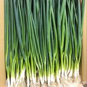 【国産新鮮青ネギ】3kg/兵庫県産 3kg 野菜(ねぎ) 通販