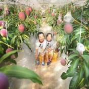 たなか果樹園 完熟マンゴーL3玉 化粧箱 310~349g×3玉