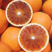 とにかく食べてみて*ブラッドオレンジ・タロッコ4.5K 4.5キロ 17個から21個程度 果物(柑橘類) 通販