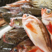 朝どれ氷見産鮮魚の詰め合わせ ノドグロ入り 魚種による 魚介類(セット・詰め合わせ) 通販