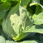 平野園芸の春キャベツ! 1.5から2キロ以上を5玉 野菜(キャベツ) 通販