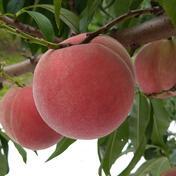 【家庭用】桃 きらら姫 約5kg(13~20個) 約5kg(13~20個) 果物や野菜などのお取り寄せ宅配食材通販産地直送アウル
