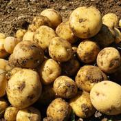 【新じゃがいも】キタアカリ(4kg) 4kg 果物や野菜などのお取り寄せ宅配食材通販産地直送アウル