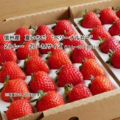 """あま〜い、長野産夏秋いちご""""ベリーナルビー"""" 2L〜Mサイズ(20〜30玉)のいづれか2トレー 果物 通販"""