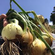 大樹地農園 ついにスタート‼️新玉ネギ4.5kg🧅 4.5kg