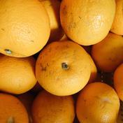 【訳あり品】小豆島産はっさく4kg+おまけ 4kg+おまけ 果物(みかん) 通販