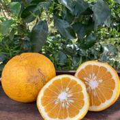 9.5kg 【訳あり】甘夏 9.5kg 果物(柑橘類) 通販
