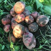 【5名限定】越冬新じゃが「アンデスレッド」2kg 2kg 野菜(じゃがいも) 通販