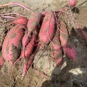 紅はるか 箱込み5キロ 野菜(さつまいも) 通販