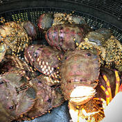 ゾウリエビ 1kg 1kg 3〜7匹 魚介類(エビ) 通販