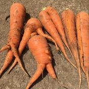 セクシー人参 5キロ 5キロ 果物や野菜などのお取り寄せ宅配食材通販産地直送アウル
