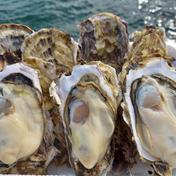 サクッと!カキフライ 三陸直送!志津川の牡蠣剥き身加熱用500g 500g 果物や野菜などのお取り寄せ宅配食材通販産地直送アウル
