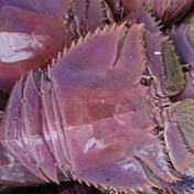 【希少!】【活き】ウチワエビ  1kg  約4~6匹  送料込! 1㎏   約4~6匹 魚介類(エビ) 通販