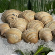 ホンビノス貝8kg【Sサイズ 50g〜95g】 8kg 魚介類(その他魚介) 通販
