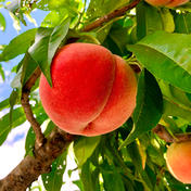 桃 (あかつき) 約2kg (6個) 約2kg (6個) 果物(もも) 通販
