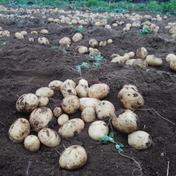 新ジャガイモ ☆ キタアカリ 5kg 5kg 果物や野菜などのお取り寄せ宅配食材通販産地直送アウル