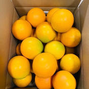 和歌山県有田産 バレンシアオレンジ 秀品 5kg 5kg 果物(柑橘類) 通販