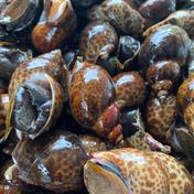 秋田県由利本荘産 黒バイ貝3kg 3kg 果物や野菜などのお取り寄せ宅配食材通販産地直送アウル