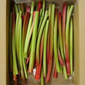 ルバーブ 1.5㎏ 果物や野菜などのお取り寄せ宅配食材通販産地直送アウル