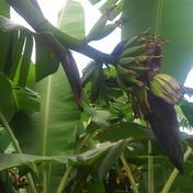 島バナナ 1.5㎏ 果物 通販