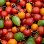 糸島産のカラフルミニトマトセット&おまけ ミニトマト1.5kg以上+おまけ 果物や野菜などのお取り寄せ宅配食材通販産地直送アウル